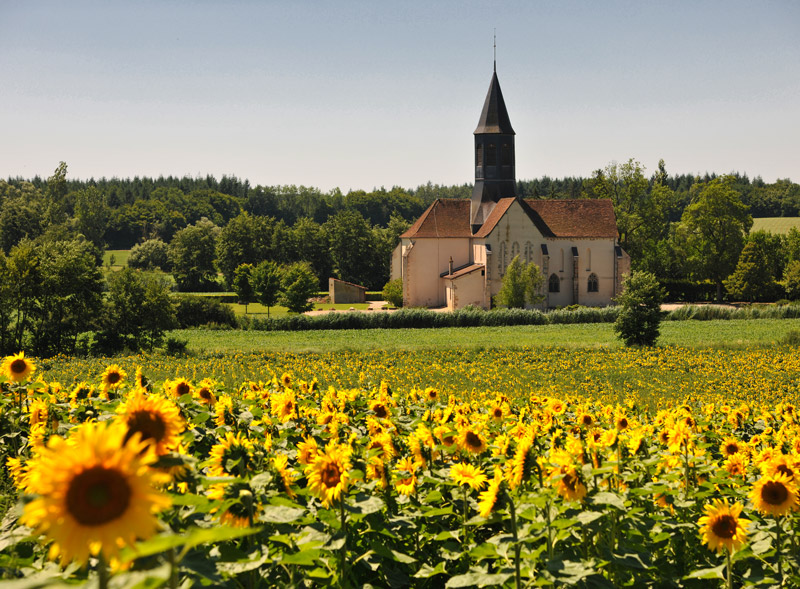 Champ de tournesols et église en arrière plan